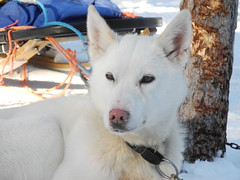weier Husky (m.prinke) Tags: dog white husky hund weis