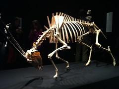 Animal Inside Out (grashamart) Tags: museum reindeer sheep muscle science bull ostrich plastic camel bone giraffe biology bodies perot bodyworlds plastination gunthervonhagens plastinate korperwelten bioart artsci sciart grashamart