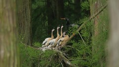 2015-05-13 Chicks in the swamp, with a surprise Limpkin! (Tara Tanaka Digiscoped Photography) Tags: bird duck video nest feeding florida young competition chick swamp mating greategret rookery nesting anhinga 4k woodstork digiscoped limpkin gh4 blackbelliedwhistingduck digidapter