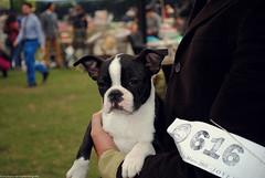 Boston terrier (Marco San Martin) Tags: portrait dog dogs animal puppy bostonterrier perro cachorro perros animales cachorros perrito raza norteamericano