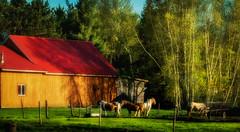 Horses bathing in sunlight (Astroredg) Tags: horses animal barn quebec photographia stcyrilledewendover saintcyrilledewendover