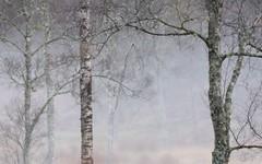 Trees in the Mist (ShinyPhotoScotland) Tags: trees light mist blur colour art nature beautiful lines weather composite composition manipulated lens landscape photography scotland haze flora emotion unitedkingdom places calm equipment zen balance serene birch colourful moment idyll awe toned pure contrasts tranquil elegance repeating gbr deeside nearfar digikam shapeandform dulllight rawconversion intimatelandscape sharpsoft enfuse rawtherapee naturehappens calmstill hazyblur photivo sony55210mm