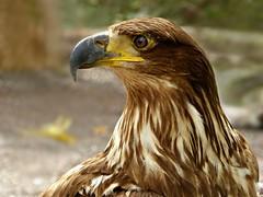 Juvenile Bald Eagle (Linda DV) Tags: bird geotagged lumix spain eagle panasonic tenerife juvenile canaryislands islascanarias 2015 geomapped lindadevolder lasguilasjunglepark