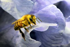 Honey Bee (Gary Grossman) Tags: iris flower macro nature closeup bee honeybee beardediris pollinator garygrossman garygrossmanphotography