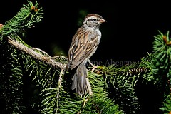 Chipping Sparrow (--Anne--) Tags: bird birds nature wildlife animals tree trees spruce pine sparrow chippingsparrow