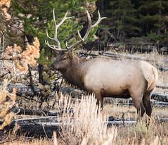 elk (cuddleupcrafts) Tags: elk wildlife yellowstone national park big game fall horn