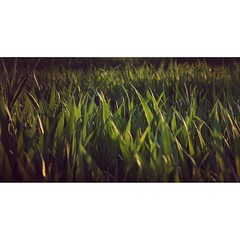 grass (skaroly77) Tags: instagramapp square squareformat iphoneography uploaded:by=instagram green grass shadows lights field lowland hungary instanature instalandscape landscape canon canon400d canonrebelxti view