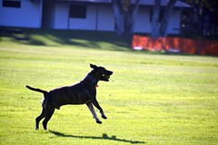 DSC_0176-1 (ScootaCoota Photography) Tags: dog pet animal mutt rescue adopt dont shop outdoors staffy