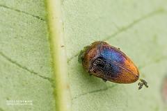 Jewel beetle (Trachys sp.) - DSC_2770 (nickybay) Tags: malaysia johor gunungpulai trachys buprestidae jewel beetle