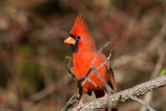 Northern Cardinal (grobinette) Tags: northerncardinal cardinal occoquanbaynationalwildliferefuge