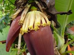 Musa acuminita 9 (heinvanwinkel) Tags: 2012 banaan bloemvandedag commelinids euphyllophyta hortus juni leiden liliopsida magnoliophyta mesangiospermae musaacuminata musaceae nederland petrosaviidae spermatophyta tracheophyta zingiberales