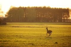 *** (pszcz9) Tags: polska poland przyroda nature natura pejza landscape sarna roe ka meadow zachdsoca sunset wieczr evening beautifulearth wiosna spring sony a77