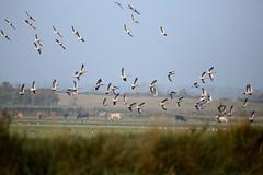Greylag Geese ------Anser anser (creaturesnapper) Tags: suffolk birds uk europe waterfowl waterbirds geese greylaggoose anseranser anatidae wildfowl water flickrbirds