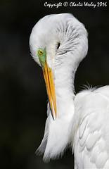Pretty Boy (wesjr50) Tags: animals birds staugustinealligatorfarm staugustineflorida rookery canoneos7d canonef500mmf40isusm flash better beamer photoshopcc avi nests