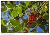 Holly (Paul Simpson Photography) Tags: holly berries red redberries autumn2016 fall plant green leaves sunshine sonya77 paulsimpsonphotography nature imagesof imageof photosof photoof bluesky seasonalplant plants leaf