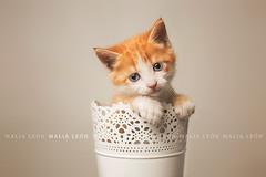 Cute kitten (Malia Len ) Tags: cat kitten kitty little animal pet gatito gato misi malialeon gatita gata studio macetero pot flowerpot