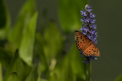 Charming visitor (Irina1010 - in vacation) Tags: flower butterfly orange colorful bokeh nature canon ngc npc