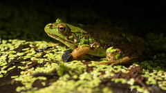 A Prince in the Shadows ... (Ken Krach Photography) Tags: frog