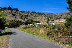 Blue and White Agapanthus (Jocey K) Tags: newzealand southisland bankspeninsula hills sky road summer scene landscape littleakaloa agapanthus flowers trees shadows