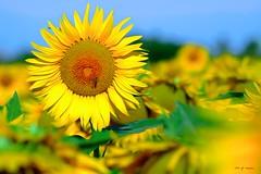 Tournesol (jpto_55) Tags: fleur tournesol jaune bokeh xe1 fuji fujifilm omlens om85mmf2 hautegaronne france