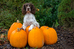 42/52 ZigZag 2016 (Flemming Andersen) Tags: give regionsyddanmark denmark dk 52weeksfordogs pumpkins grskar dog green autumn orange zigzag