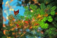 L'harmonie de la lumire  / Harmony with daylight  (3-4) (deplour) Tags: feuilles automne couleurs arbres leaves autumn colors trees harmonie lumire light harmony