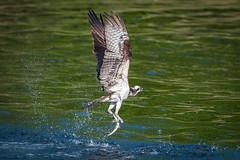Success (Vic Zigmont) Tags: osprey ospreywithfish birdinflight birdwithprey raptor ospreywithwater