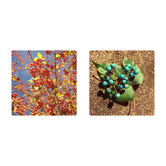 Berries (jeanne.marie.) Tags: diptych iphone5s iphoneography fall autumn berries turquoise orange
