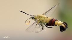 12628638_935712859811500_9216282193672731533_o (baloxp1) Tags: insect flying fly nature mood macro macrofreezing smallworld animal monday motion komposition photo photography macromonday