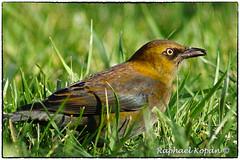 Rusty Blackbird (male) and a grasshopper (RKop) Tags: armlederpark cincinnati ohio raphaelkopanphotography rustyblackbird a77mk2 600mmf4apogminolta sonydslr sony