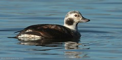 Long-tailed Duck Pennington 16ig6037 (Pauline & Ian Wildlife Images) Tags: longtailed duck pennington flash