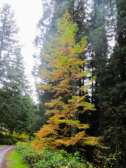 """The ultra rare Dawn Redwood, a tree only """"discovered"""" in the 1940's, though it lived here thousands of years ago. It's changing colors because it's deciduous! #dawnredwood #hoytarboretum (urbanadventureleaguepdx) Tags: hoytarboretum dawnredwood"""