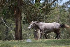 No quiero amarras! (pepelara56) Tags: caballos caballo horses horse