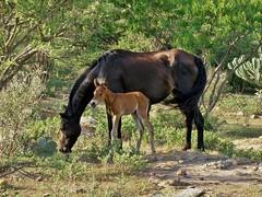 Equus ferus caballus (carlos mancilla) Tags: equusferuscaballus animales caballos horses olympussp570uz