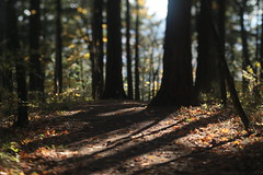 Mt Tabor (Tony Pulokas) Tags: mttabor mounttabor mounttaborpark portland oregon tilt blur tree douglasfir bokeh autumn fall maple bigleafmaple