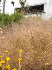 COP Austrostipa elegantissima ah - 1061 (COPbiodiversity) Tags: austrostipaelegantissima chrysocephalumapiculatum adelaidemetropolitan australia australian austrostipa billdoyle chrysocephalum cityofplayford climbing commoneverlasting cop council davorenpark elegantspeargrass everlasting flower flowering garden gardening grass head indigenous landscape landscapegardening landscaping local localnativelandscaping localindigenous localnative localnativespecies locally locallyindigenous native paperflower plant playford playfordoperationscentre poc sa seedhead southaustralia southaustralian speargrass species wirra yellow specphoto