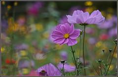 Ein lila Wildblumengruß ... (Kindergartenkinder) Tags: kindergartenkinder gruga park essen sony ilce6000 wow
