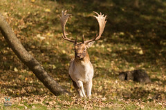Dyrham Park (NT) 20161103-0903 (Rob Swain Photography) Tags: deer stag dyrham england unitedkingdom gb buck