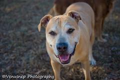 Bear 1 (venusnep) Tags: sandycreekpark sandy creek park athensga athens ga georgia privatedogpark private dog dogpark g pack gpack dogs pets funday november 2016 nikond610 nikon d610