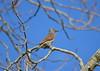 Northern Flicker (Neal D) Tags: bc surrey crescentbeach blackiespit bird flicker northernflicker colaptesauratus