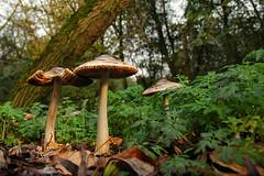 herfst in het bos (Don Pedro de Carrion de los Condes !) Tags: donpedro d200 herfst paddestoel funghi boleet boleten zwam zwammen kwetal bos bosrijk detail bladeren verroting kikvorsperspectief struweel boom bomen