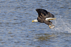 Bald Eagle FIsh Grab (Brian E Kushner) Tags: american baldeagle bald eagle fish fishing raptor wings talon beak king flying flight inflight haliaeetusleucocephalus conowingo dam conowingodam darlington md maryland d5 nikond5 bird birds bkushner wildlife animals birdwatcher brianekushner nikonafsnikkor800mmf56efledvrlens nikon afs nikkor 800mm f56e fl ed vr lens tc800125e tc800125eed grab