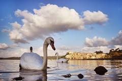 Cisnes (Japo Garca) Tags: cisne beauty paisaje roma anguilara pueblo reflejo nube lago laguna encuadre fotografa japogarca nikon cuello patos landscape italia