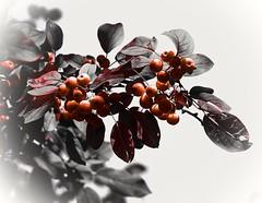 Selective berry tree (vinnie saxon) Tags: tree berry red selective nature creative leaves blackandwhite autumn nikoniste nikon d600