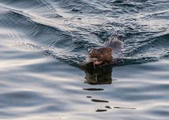 _DSC5448 (doug.metcalfe1) Tags: 2016 dougmetcalfe fall humberbayparkeast lakeontario mammal mink ontario outdoor toronto