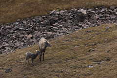 "Bighorn Sheep • <a style=""font-size:0.8em;"" href=""http://www.flickr.com/photos/63501323@N07/30990668376/"" target=""_blank"">View on Flickr</a>"