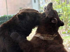 brown bear Ouwehands JN6A6768 (j.a.kok) Tags: beer bear bruinebeer brownbear ouwehands ouwehandsdierenpark ouwehandszoo igor