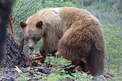 Black Bear, Yosemite, Mariposa, California (Terathopius) Tags: blackbear yosemitenationalpark glacierpointroad mariposacounty california usa ursusamericanus americanblackbear