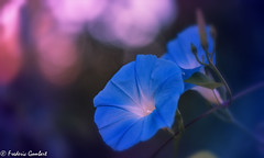 reaching the sky.... (frederic.gombert) Tags: flower flowers blue light sun morning color colors colorful macro bokeh sunlight autumn plant fall garden