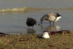 Brent Geese (Hythe Eye) Tags: hythe hampshire southamptonwater winter blackheadedgull geese brentgeese